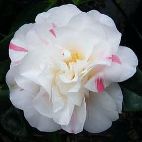 Camellia 'Betty Sheffield Pink'